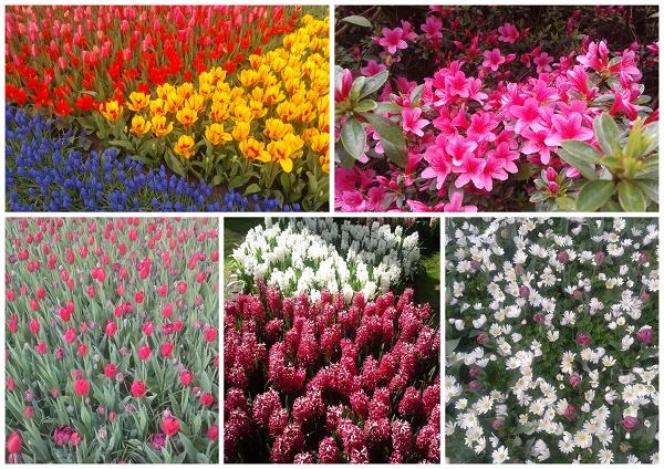 Keukenhof kolorowy ogród w Holandii